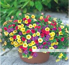 FD1209 Petunia Seeds Shuttlecock Flower Horn Sweet Potato Bonsai Flowers ~50PCs~