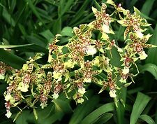 "ONCIDESA SYDNEY SMITH 'GREEN MONKEY' ORCHID PLANT SHIPPED IN 3"" POT"