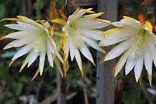 "Epiphyllum Blattkakteen Epicactus ""White Splendor"" Steckling"