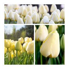 Lot 74 Darwin Hybrid Tulip Ivory Floradale x 50 Flower Bulbs.Spring Bargain.