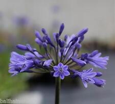 3 Agapanthus Debbie  dark blue flowers excellent garden plant