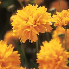 Flower, COREOPSIS Grandilora Early Sunrise 30 Seeds - Free Shipping