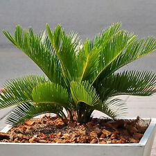 Premium Cycas Revoluta | Best Indoor Plants | Potted Plant Gift 30-40cm Incl Pot