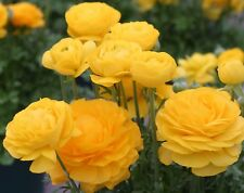 25 Ranunculus Yellow bulbs only £8.95 with free P/&P Persian Buttercups Beautiful