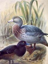 Blue Duck Print   very good condition    British Museum of Natural History
