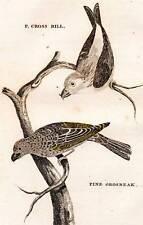 1776 FANION Griffiths Cross Bill main couleur cuivre graver antique imprimé oiseaux