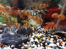 Clown Loach (Botia macracantha) Freshwater Tropical Fish