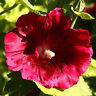 15 graines rose tremiere noire alcea rosea nigra x21 black hollyhock seeds samen ebay - Graine rose tremiere ...