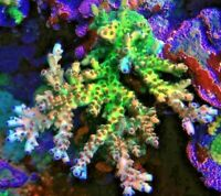 Reef Raft Bleeding Avenger RR USA Acropora Acro Frag Rare Live Coral SPS