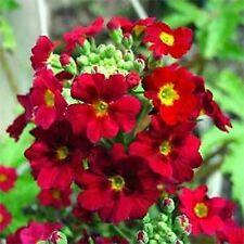 Primrose Fairy Crimson- (Primula Malacoides) - 50 Seeds