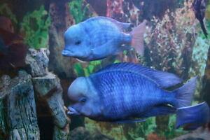 """5 Blue Dolphin Cichlid (Cyrtocara Moori) 2""""-2.5"""""""