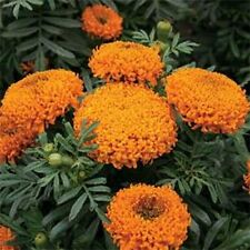 Marigold (Tagetes Erecta Tall) Sierra Orange- 50 seeds