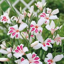10 Gladioli Nymph Nanus White Prins Claus Bulbs Corm Summer Flower Perennial