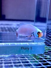 Snow Flurry Clownfish #1 Live Saltwater Fish Wysiwyg