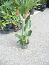 Strelitzia Paradiesvogelblume Zimmerpflanze mehrere Pflanzen in einem Topf