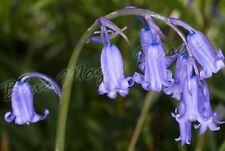 5 Traditional Bluebell Blue Bell Bulb Corm Autumn Growing Garden Spring Flower