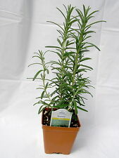 Rosemary Officinalis Live Plant 8 to 10 inches Tall 3½ inch Pot Herbs Culinary