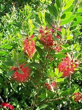 Red Bottlebrush Healthy 5 Gal. Plant Large Multiple Flowers Easy to Grow Plants