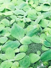10 Water Lettuce Sm/Baby Water Lettuce Freshwater Floating Plants Ponds/Tanks