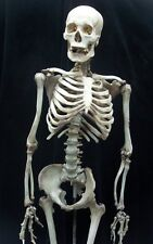 LIFE SIZE SKELETON - The Walking Dead Halloween Prop & Decoration