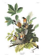 1830 John Audubon - American Robin - Turdus Migratorius Havell Edition Exc