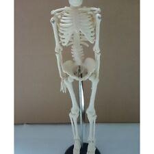 85cm Human Skeleton Model Great Teaching Aid Lifelike Bone Color