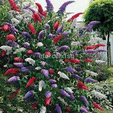 20Pcs Butterfly Bush Seeds Garden Rare Flower Plant Colorful White Purple Blue