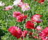 10,000 Shirley Double Poppy Seeds FLOWER SEEDS