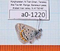 a0-1220 Polyommatus (eros) stigmatifera vasilyi 1m A1 Lycaenidae