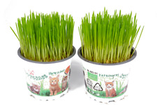 More details for 2 x cat grass hordeum living plants in 12cm pots - growing plants not seed