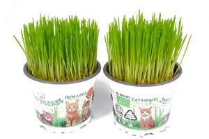 2 x Cat Grass Hordeum Living Plants in 12cm Pots - Growing Plants NOT SEED