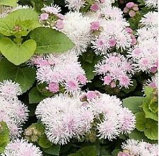 "Ageratum houstonianum ""Hawaii Shell Pink"".x 50 seeds. Flower. Gift in store."