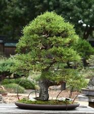 Monterey Cypress_Cupressus macrocarpa, Tree Seeds  (20No)T-035 x 2