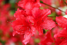 Azalea / Rhododendron Geisha Red 20-30cm Tall In 2L Pot, Stunning Red Flowers