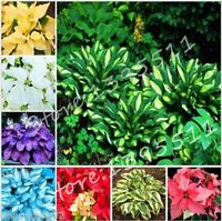 100+pcs(mix) Hosta Seeds Perennials Plantain Lily Flower White Lace Home Garden