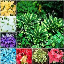100pcs(mixed) Hosta Seeds Perennials Plantain Lily Flower White Lace Home Garden