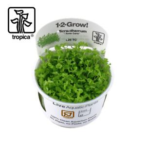 Tropica In-Vitro 1-2-Grow! Micranthemum 'Monte Carlo' carpeting aquarium plants