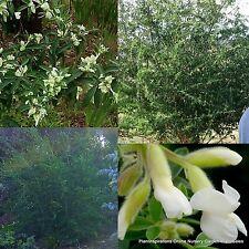 8 Tree Lucerne Tagasaste Animal Fodder Plants Tuf Hedge Chamaecytisus palmensis