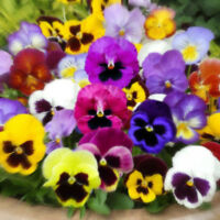 Pansy Swiss Giant 100 seeds Viola x Wittrockiana * Colorful * Easy Grow * CombSH