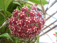 3 graines de FLEUR DE PORCELAINE ROSE(Hoya Pubicalyx)H446 PORCELAIN FLOWER SEEDS