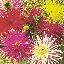 Kings Seeds - Dahlia Cactus Mixed - 35 Seeds