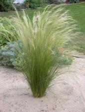 1 x Stipa tenuissima 'Pony Tails' 1 Liter (Ziergras/Gräser/Stauden) Federgras