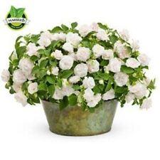 20 seeds/lot  white garden balsam Double impatiens flower Seeds for garden easy