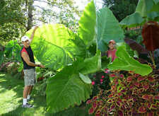 12 Fresh Giant Elephant Ear Plant Seeds - Alocasia Macrorrhiza *Easy to grow*