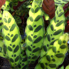 Popular Calathea Rattlesnake Plant Indoor Plant Gift for Sale 40-50cm with Pot