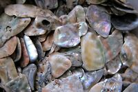 Three Abalone Tumbled Shells 40-50mm Reiki Healing Crystals by Cisco Traders