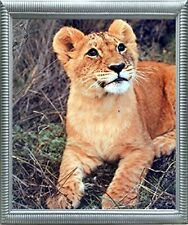Lion Cub Big Cat Wild Animal Wall Decor Silver Framed Art Print Picture (20x24)