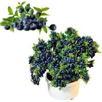 50Pcs Garden Blueberry Tree Seed Fruit Blueberry Seed Potted Bonsai Seeds Plant^