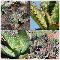 10 Samen der Aloe greatheadii, saftig, Sukkulenten,seed succulents G