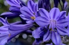 25+ Agapanthus Purple Flower Seeds / Perennial